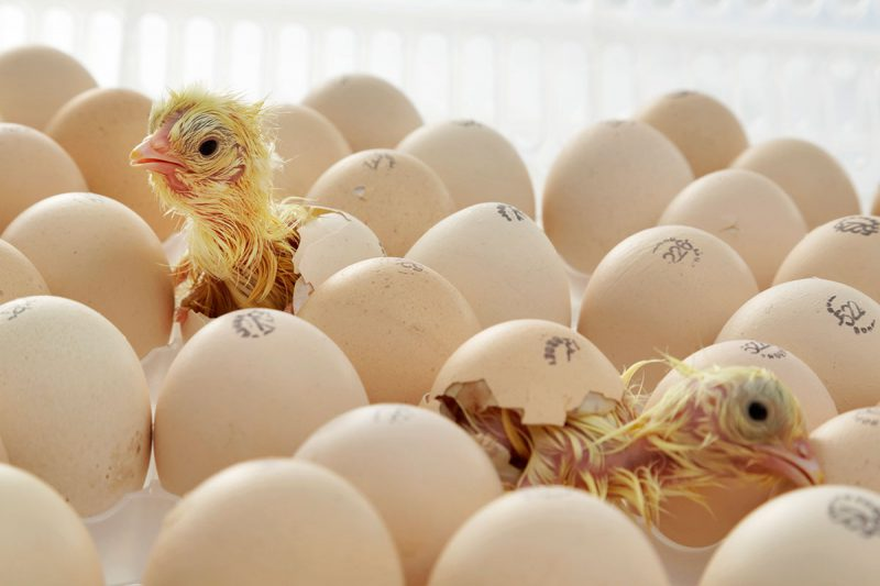 annyalla-chicks-1