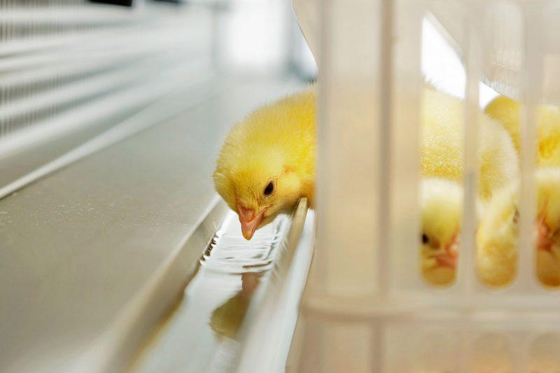 annyalla-chicks-2